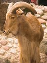 Free Barbary Sheep / Arui Stock Images - 3125274