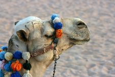 Free Camel Royalty Free Stock Photography - 3120307