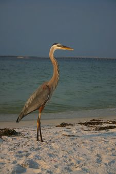 Free Blue Heron Royalty Free Stock Photos - 3123998