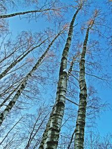 Free Birches Forest Stock Photos - 3124793