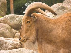 Free Barbary Sheep / Arui Stock Photo - 3125120