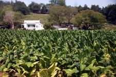 Free Tennessee Cash Crop Tobacco Stock Photos - 3126133