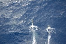 Free Atlantic Dolphins 16 Stock Image - 3126801