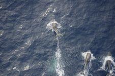 Free Atlantic Dolphins 25 Stock Image - 3126871