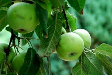Free Green Apples On The Banch Stock Photography - 3128832