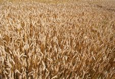 Free Fields Of Wheat Royalty Free Stock Photos - 3129748