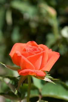 Free Soft Rose Stock Photos - 3129903