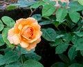 Free Orange Flower Stock Photography - 31208482