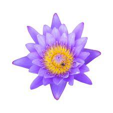 Free Purple Lotus On White Stock Image - 31204871