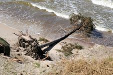 Free Uprooted Tree From A Storm Royalty Free Stock Images - 31209209