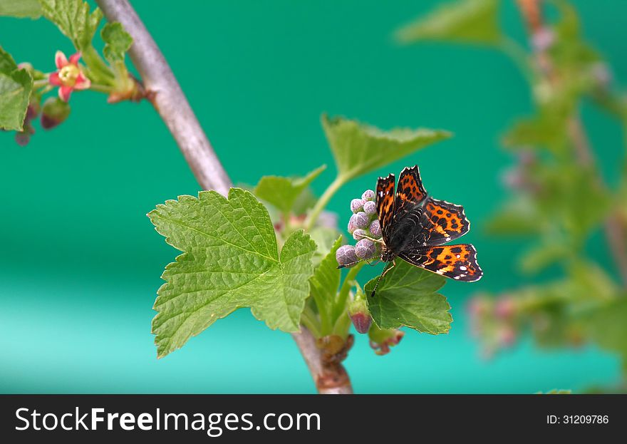 Butterfly on a flower of black currant