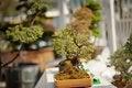 Free Bonsai Stock Photos - 31215333