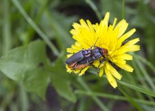 Free Beetles &x28; Cantharidae&x29;. Royalty Free Stock Image - 31211356
