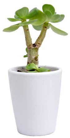 Free Small Portulaca Molokiniensis Stock Image - 31211861