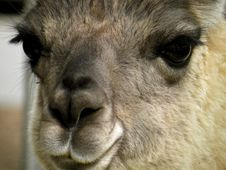 Free Close Up Of A Lama Stock Image - 31214011