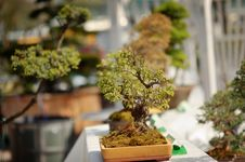 Free Bonsai Stock Photos - 31215333