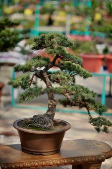 Free Bonsai Stock Photo - 31215340