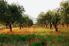 Free Olive Trees On A Carpet Of Poppies2 Stock Photography - 31216172