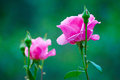 Free The Pink Rose Stock Photo - 31220610