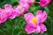 Free Chinese Herbaceous Peony Stock Photos - 31220823