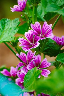Free Common Mallow Royalty Free Stock Image - 31221156