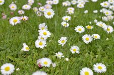 Free Green Meadow Full Of Daisy Flowers Royalty Free Stock Images - 31227089