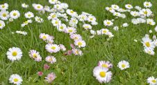 Free Green Meadow Full Of Daisy Flowers Royalty Free Stock Image - 31227116