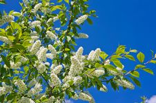 Free Spring Bird Cherry Blossoms Royalty Free Stock Image - 31228726