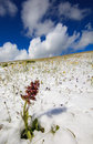 Free Isolated Flower In The Snow Stock Image - 31235251