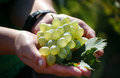 Free Bunch Of Grapes Stock Photos - 31238703