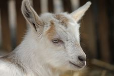 Free Baby Goat Stock Photo - 31233610