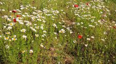 Free Field Of Daisies And Poppies Stock Photos - 31235413