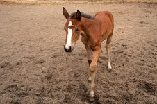 Free Foal Royalty Free Stock Images - 31237859
