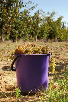 Free Harvest Of White Grape Stock Photography - 31238682