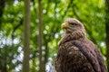 Free White-tailed Sea-eagle Stock Photo - 31241160
