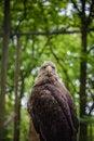 Free White-tailed Sea-eagle Royalty Free Stock Photos - 31241328