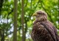 Free White-tailed Sea-eagle Royalty Free Stock Photography - 31241467