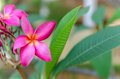 Free Frangipani Royalty Free Stock Photo - 31241975