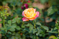 Free Pink And Yellow Rose Royalty Free Stock Photo - 31242545