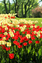 Free Red And Light Yellow Tulips Garden Royalty Free Stock Photos - 31247638