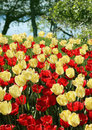 Free Red And Nlight Yellow Tulips Field Royalty Free Stock Photos - 31247698