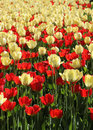 Free Red And Light Yellow Tulips Field Stock Photos - 31247793