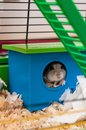 Free Hamster Stock Images - 31249734