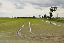 Free Italian Flooded Rice Fields By Novara Stock Photography - 31240952