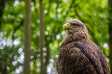 Free White-tailed Sea-eagle Stock Photo - 31241160