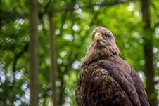 Free White-tailed Sea-eagle Royalty Free Stock Photos - 31241208