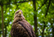 Free White-tailed Sea-eagle Royalty Free Stock Images - 31241259