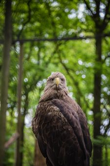 Free White-tailed Sea-eagle Royalty Free Stock Photos - 31241328