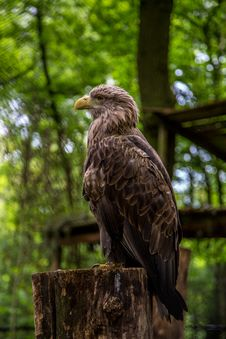White-tailed Sea-eagle Stock Images