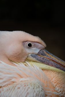 Free Pink Pelican, Resting In The Shade Stock Image - 31241621